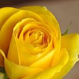 Primo piano luminoso della rosa di giallo Immagine Stock Libera da Diritti
