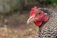 Primo piano macchiato del pollo della gamma libera Immagine Stock Libera da Diritti