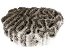 Primo piano a macroistruzione del particolare della pietra del corallo di cervello Immagini Stock Libere da Diritti