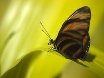 Primo piano a macroistruzione della farfalla sul foglio verde Fotografia Stock