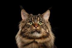 Primo piano Maine Coon Cat Curious Looks enorme, fondo nero isolato immagini stock libere da diritti