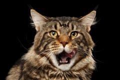 Primo piano Maine Coon Cat Face leccata ritratto, fondo nero isolato Immagine Stock Libera da Diritti