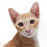 Primo piano marrone sveglio del gattino su fondo bianco Immagini Stock Libere da Diritti
