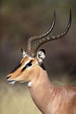 Primo piano maschio del impala Black-faced, Etosha, Namibia Fotografia Stock