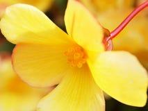 Primo piano minuscolo del fiore del yeĺlow Immagine Stock