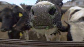 Primo piano Naso sporco di una mucca Le mucche mangiano gli alimentatori del silaggio prima della mungitura di sera stock footage