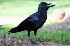 Primo piano nero del corvo Fotografie Stock