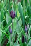 Primo piano nero del tulipano nel giacimento di primavera Campo viola nero o scuro del tulipano Immagini Stock