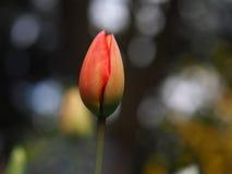 Primo piano non aperto del tulipano Immagini Stock