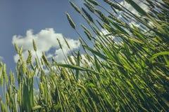 Primo piano non maturo del giacimento di grano Fotografie Stock Libere da Diritti
