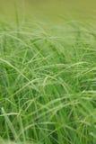 Primo piano non tagliato dell'erba Fotografie Stock Libere da Diritti
