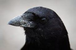 Primo piano nordoccidentale del corvo Immagini Stock