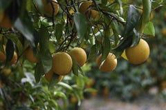 Primo piano oltre dieci arance sull'albero Fotografia Stock