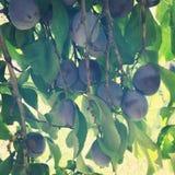 Primo piano organico delle prugne sull'albero Fotografia Stock Libera da Diritti