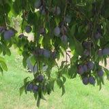 Primo piano organico delle prugne sull'albero fotografia stock