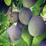 Primo piano organico delle prugne sull'albero Immagine Stock
