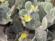 Primo piano piano ovale di fioritura di forma del cactus con i fiori gialli immagine stock libera da diritti