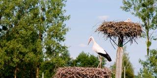 Primo piano panoramico di una cicogna bianca in un nido Immagini Stock