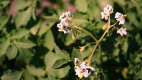Primo piano, patate di fioritura pallido - i fiori rosa fioriscono sui cespugli della patata su un campo dell'azienda agricola Cr video d archivio
