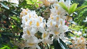 Primo piano per dentellare i fiori del rhoddnendron archivi video