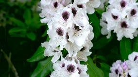 Primo piano per dentellare i fiori del rhoddnendron video d archivio