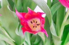 Primo piano per il singolo tulipano rosso Fotografia Stock Libera da Diritti