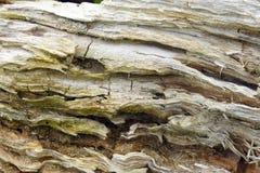 Primo piano piegato marcio del ceppo di albero Fotografia Stock Libera da Diritti