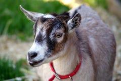 Primo piano pigmeo della capra Immagini Stock