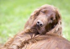 Primo piano pigro del naso di cane di sonno Fotografia Stock