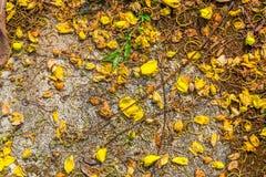 Primo piano poco fiore giallo che cade sul pavimento del cemento per fondo Fotografie Stock