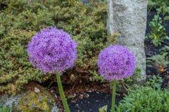 Primo piano porpora 2 del fiore dell'allium Fotografia Stock