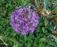 Primo piano porpora del fiore dell'allium Fotografie Stock
