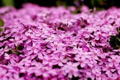 Primo piano porpora di struttura dei fiori, fondo vago Fotografia Stock Libera da Diritti