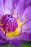 Primo piano porpora naturale del loto di colore Fotografia Stock