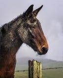 Primo piano Portraitn di Muddy Mule immagine stock