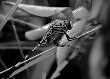 Primo piano posteriore e bianco della libellula fotografie stock libere da diritti