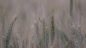 Primo piano quasi maturo delle orecchie del grano in un campo d'ondeggiamento video d archivio