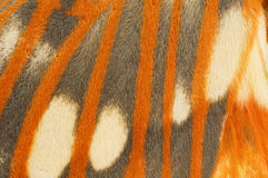 Primo piano regale dell'ala del lepidottero Immagini Stock Libere da Diritti