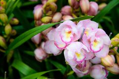 Primo piano rosa del Cymbidium dell'orchidea Allevamento delle orchidee in giardino Immagini Stock