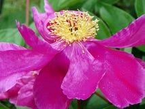 Primo piano rosa del fiore della peonia che mostra i petali e lo stame giallo Fotografia Stock Libera da Diritti