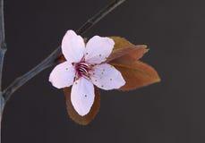 Primo piano rosa del fiore di ciliegia Fotografia Stock Libera da Diritti