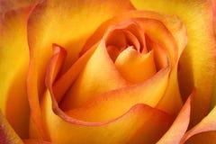 Primo piano rosa dell'arancia Fotografia Stock Libera da Diritti