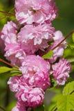 Primo piano rosa della mandorla Immagini Stock