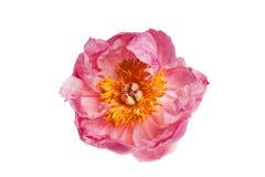 Primo piano rosa della peonia Fotografia Stock