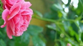 Primo piano rosa delle rose su un fondo verde stock footage