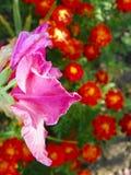 Primo piano rosa di Gladiola con il fondo arancio della primaverina Fotografia Stock
