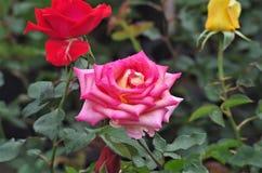 Primo piano rosa esotico rosa del fiore su un salado di Cuero y della ceiba della La del parco nazionale dell'Honduras Immagine Stock Libera da Diritti