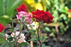 Primo piano rosa esotico rosa del fiore su un salado di Cuero y della ceiba della La del parco nazionale dell'Honduras Immagini Stock Libere da Diritti