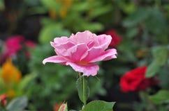 Primo piano rosa esotico rosa del fiore su un salado di Cuero y della ceiba della La del parco nazionale dell'Honduras fotografia stock libera da diritti