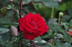 Primo piano rosa esotico rosso del fiore su un salado di Cuero y della ceiba della La del parco nazionale dell'Honduras immagini stock libere da diritti